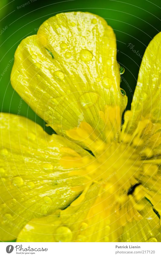 yellow drops Environment Nature Plant Drops of water Summer Weather Flower Blossom Wild plant Observe Yellow Rain Wet Green Beautiful Crowfoot Delicate Flashy