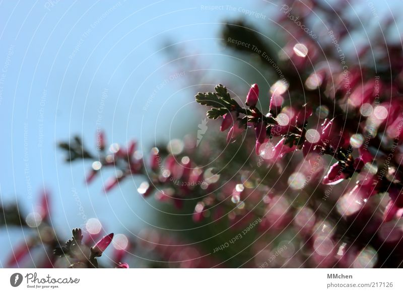 reflectors Heather family Blur Motion blur Pink Blossom Mountain heather Deserted Close-up Glittering Sunlight