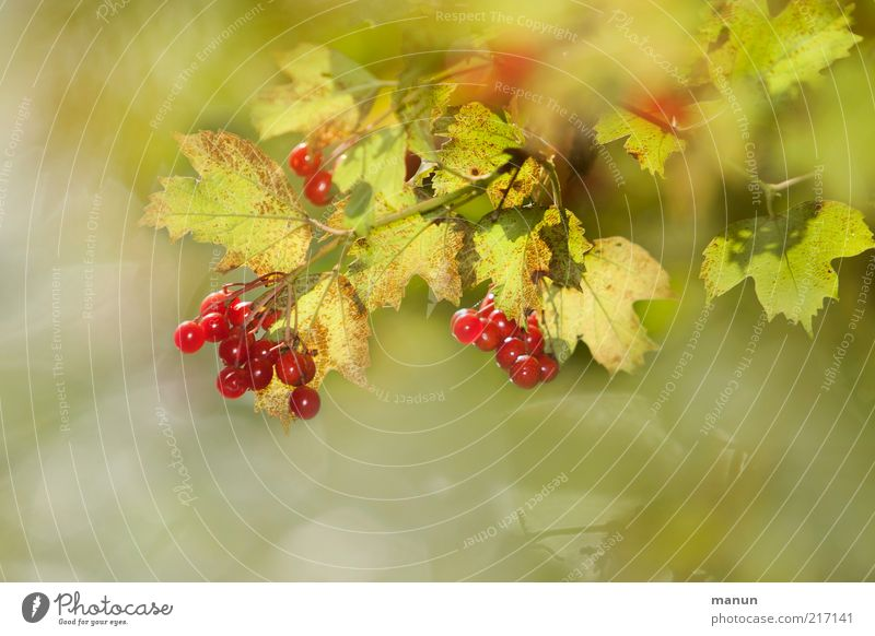 Nature Beautiful Plant Red Summer Leaf Autumn Bright Glittering Food Environment Fruit Fresh Bushes Natural Mature
