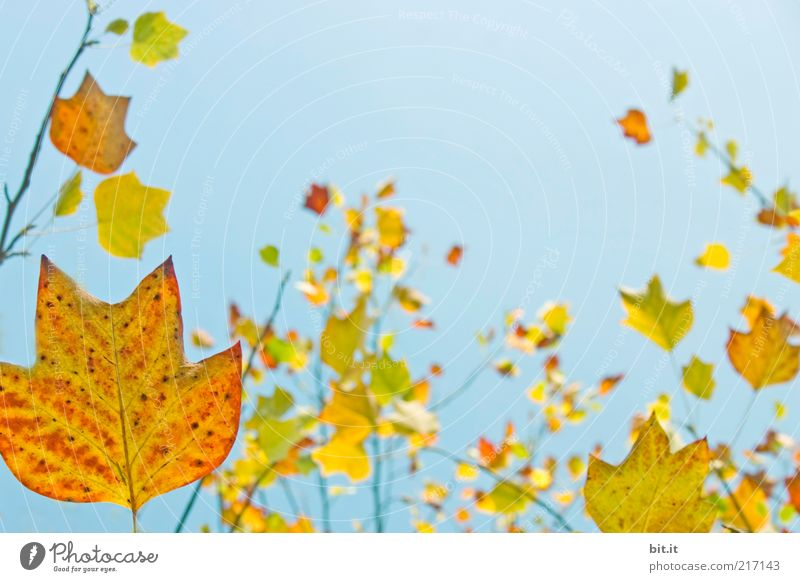 Nature Sky Blue Plant Red Leaf Yellow Autumn Environment Gold Change Transience Illuminate Seasons Hang Beautiful weather