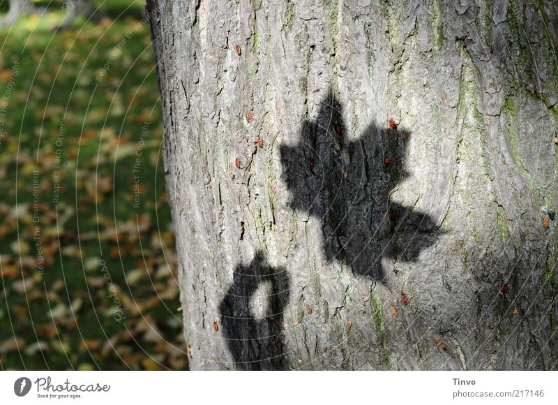 Shadow of maple leaf on tree bark Nature Autumn Tree Leaf Transience Tree trunk Maple leaf Meadow Autumn leaves Shadow play Colour photo Exterior shot Light