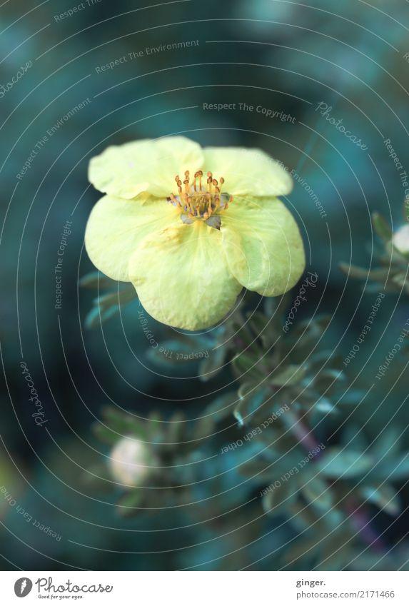 drömblöm Nature Plant Flower Bushes Agricultural crop Yellow Green Rose Hedge Near Blossom Small Blur Colour tone Beautiful Upward Point Colour photo
