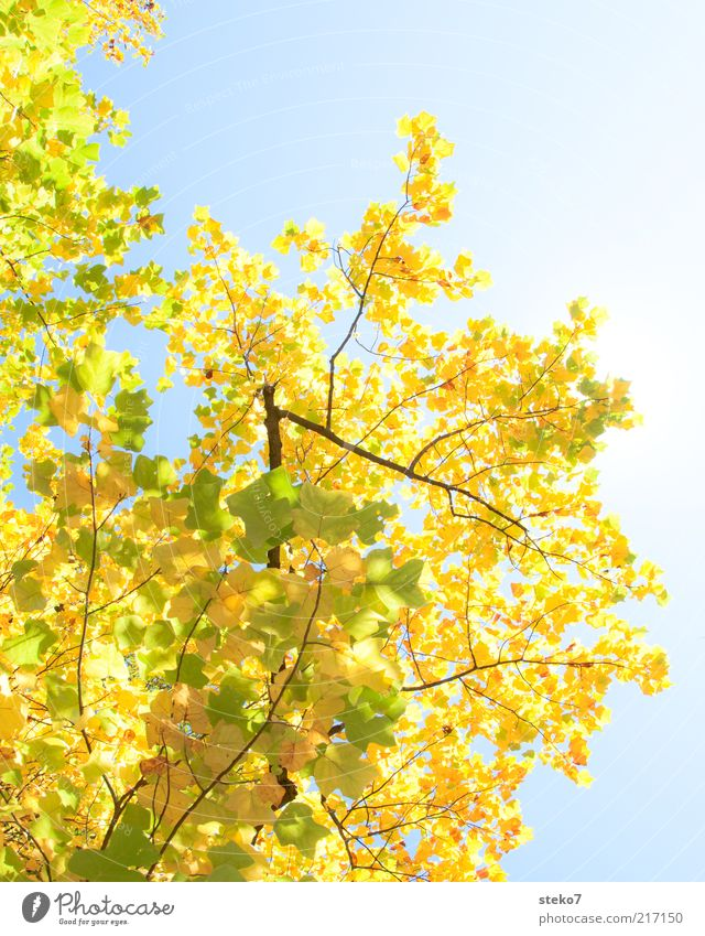 Is there a leaf missing already? Sky Autumn Tree Leaf Old Illuminate Change Calm Maple branch Deciduous tree Yellow Green Colour photo Exterior shot Deserted