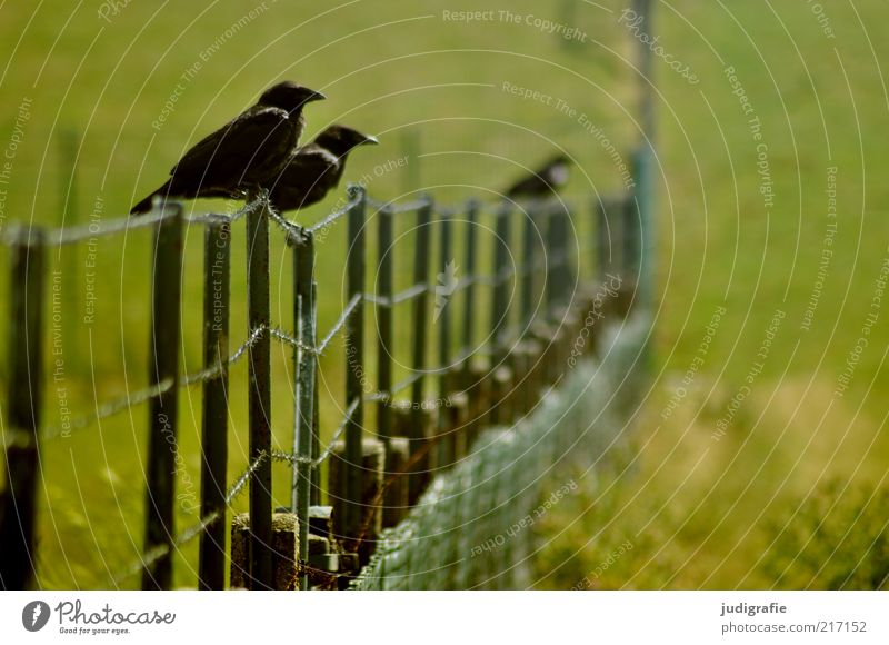 Nature Green Plant Black Animal Meadow Grass Landscape Bird Wait Environment Sit Wild animal Fence Raven birds