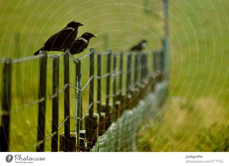 Nature Green Plant Black Animal Meadow Grass Landscape Bird Wait Environment Sit Wild animal Fence Raven birds
