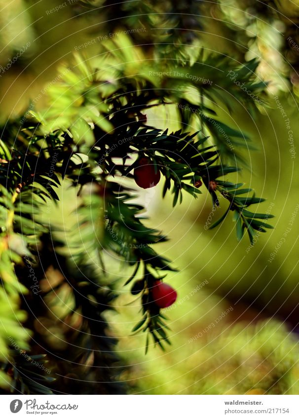 Nature Green Plant Red Calm Leaf Autumn Esthetic Berries Yew Poisonous plant
