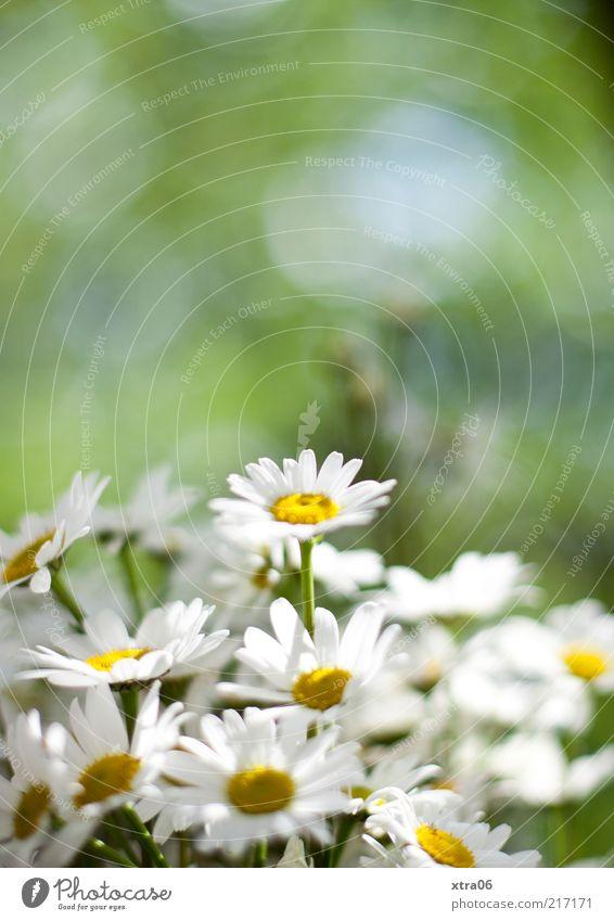 Nature White Flower Green Plant Blossom Environment Daisy