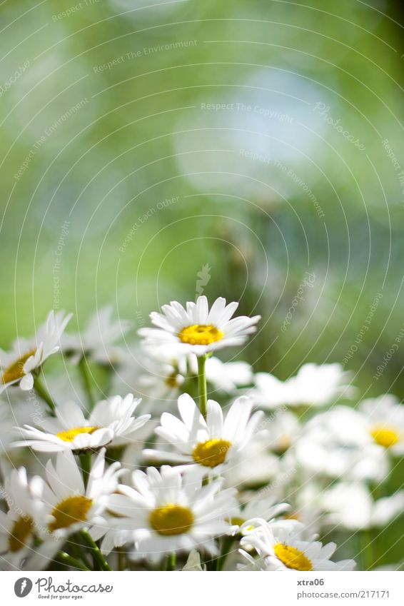 Oh, summer was beautiful. Environment Nature Plant Flower Blossom Green White Daisy Colour photo Exterior shot Deserted Shallow depth of field