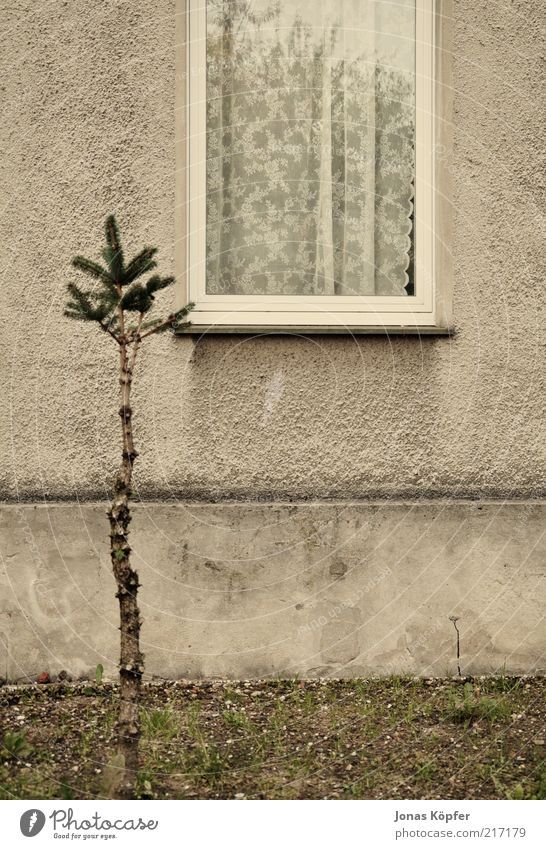 Christmas tree in front of the window Tree Deserted Detached house Building Window Old Gloomy Brown Drape Front garden Window board Wall (barrier) Colour photo