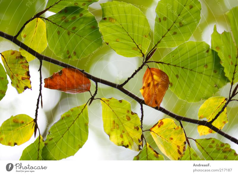 Nature Green Plant Leaf Autumn Environment Autumn leaves Beech tree Autumnal Autumnal colours Leaf canopy Beech family