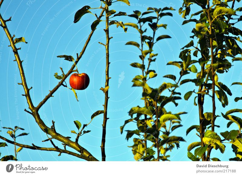 Adams (last) apple Fruit Apple Nutrition Organic produce Nature Plant Cloudless sky Summer Tree Leaf Blue Green Red 1 Individual Landscape format Last Suspended