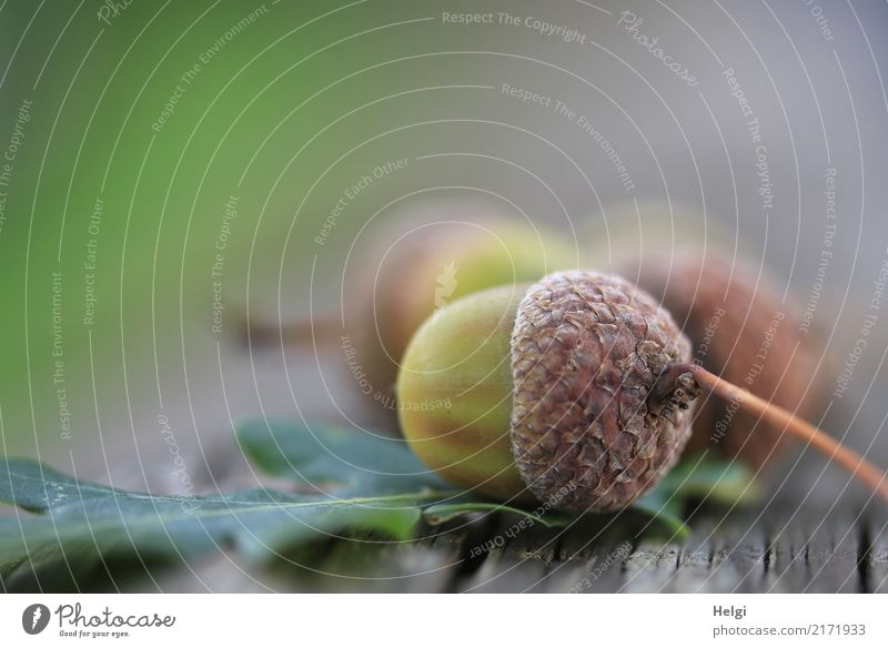Autumn Environment Nature Plant Leaf Wild plant Fruit Acorn Oak leaf Park Wood Lie To dry up Brown Gray Green Moody Transience Change Colour photo