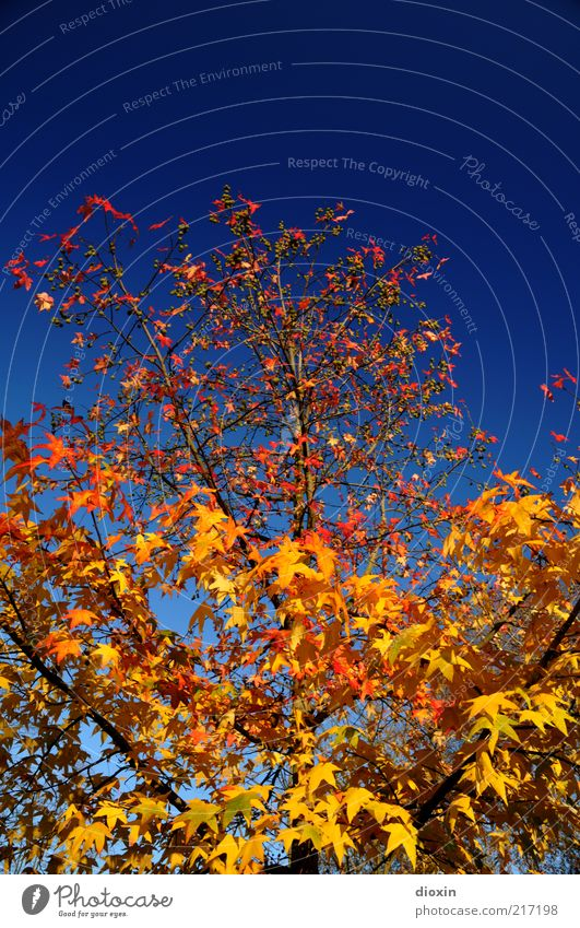 October gold Environment Nature Plant Sky Cloudless sky Autumn Weather Beautiful weather Tree Leaf Branch Maple tree Growth Natural Blue Yellow Gold Red