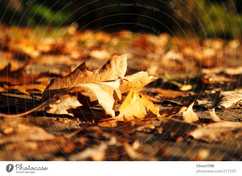 AutumnGold Nature Plant Earth Beautiful weather Leaf Natural Brown Multicoloured Red Colour Freedom Inspiration Sustainability Decline Transience Colour photo