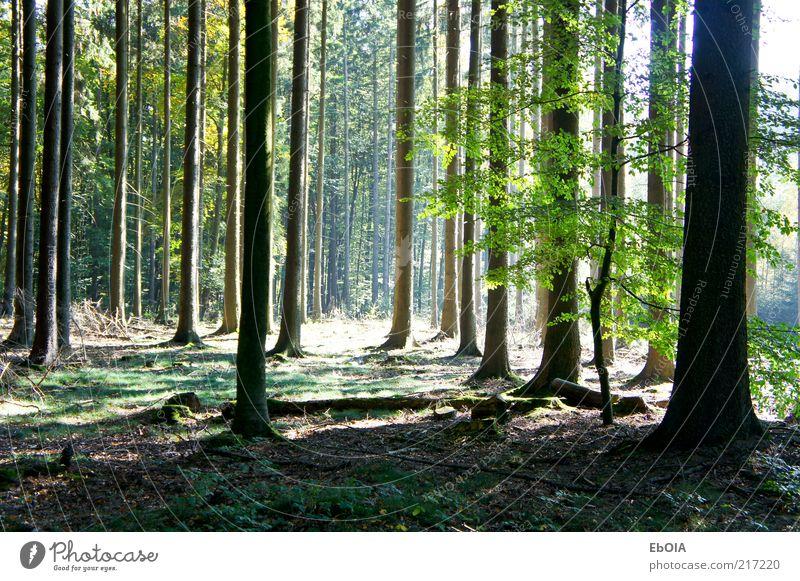 clearing in the forest Nature Earth Sunlight Autumn Beautiful weather Tree Forest Authentic Large Sunbeam Woodground Shadow Colour photo Exterior shot Deserted