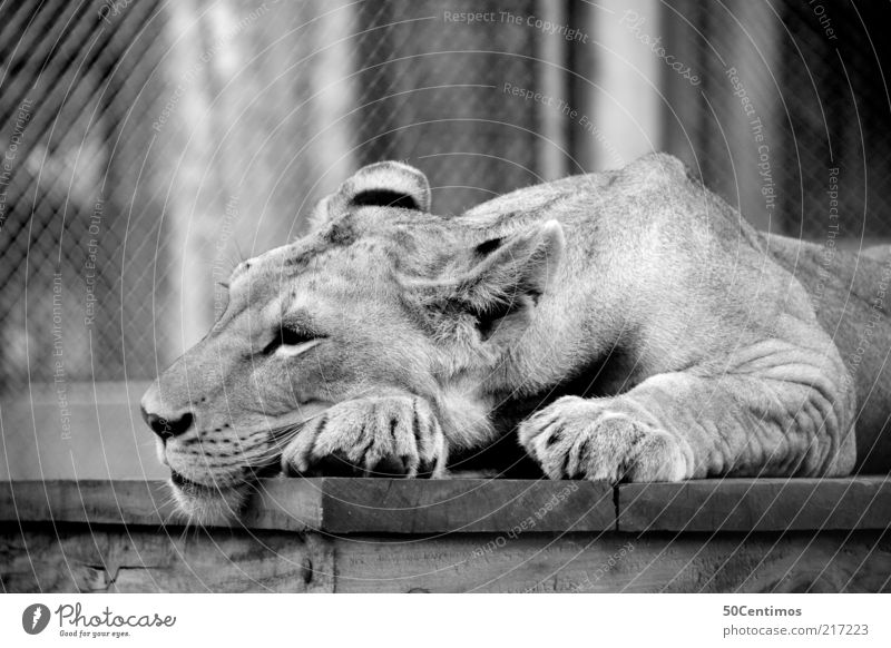 Cat Beautiful White Relaxation Loneliness Calm Animal Black Moody Lie Dream Contentment Wild Wild animal Sleep Zoo