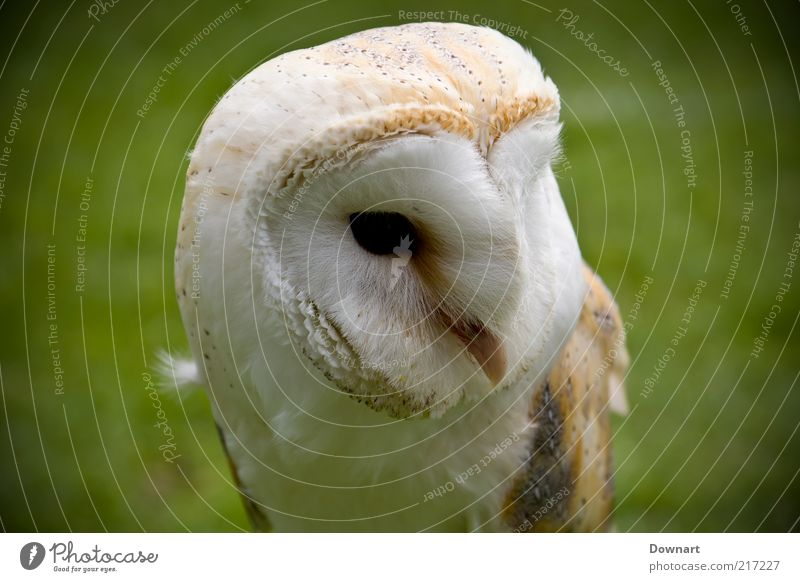 Mr Barn Owl Grass Bird Environment Hunter Profession Animal Resting