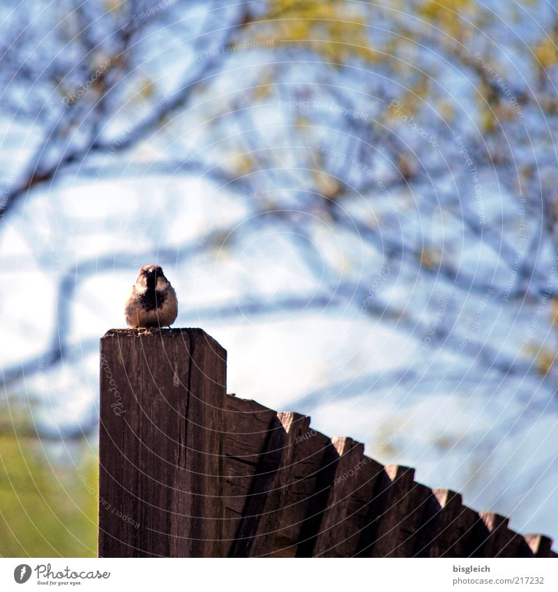 Fence King Bird Tit mouse 1 Animal Wood Sit Blue Watchfulness Fence post wren Colour photo Shallow depth of field Wooden stake Twigs and branches Copy Space top