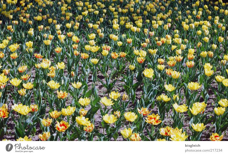 Tulip field II Leaf Blossom Yellow Green Flower Flower meadow Colour photo Subdued colour Exterior shot Day Deserted Structures and shapes Many Tulip blossom