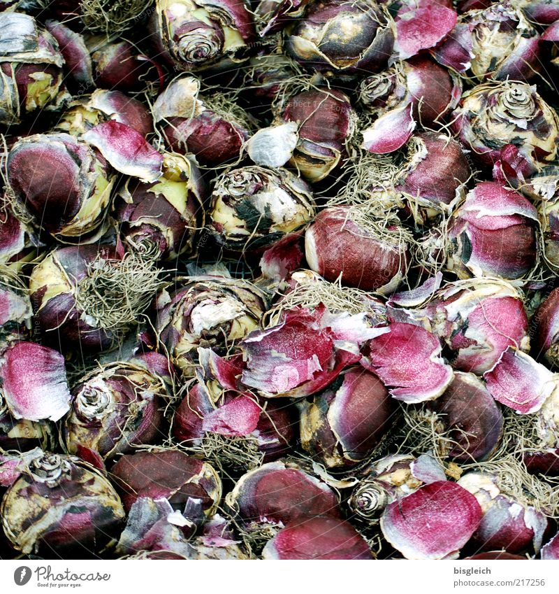 Tulip bulbs III Flower tulip bulb Growth Red Muddled Colour photo Subdued colour Exterior shot Day Bulb flowers Deserted Structures and shapes