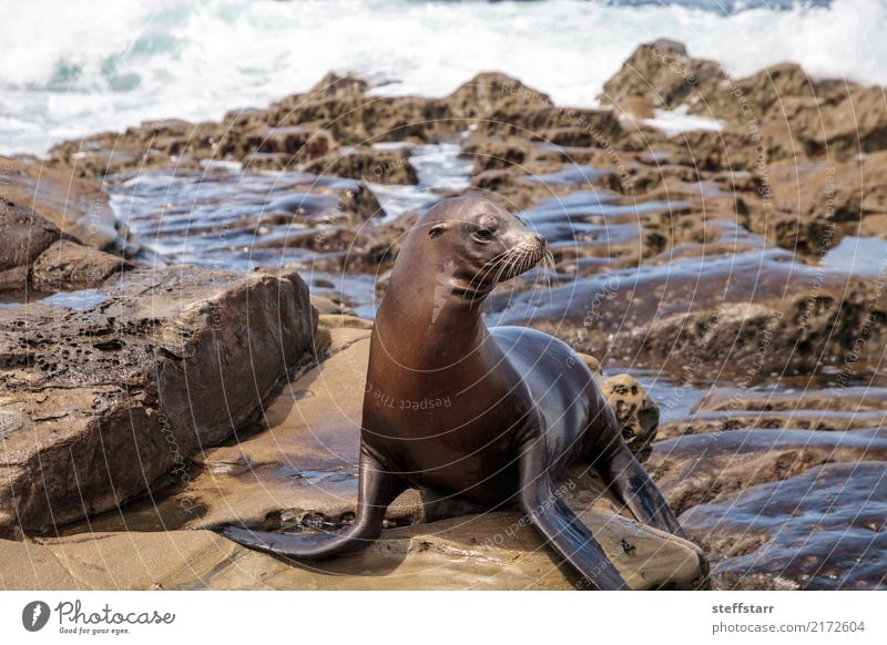 California sea lion Zalophus californianus Playing Rock Waves Coast Beach Ocean Animal Wild animal 1 Stone Water Sit Blue Brown Sea lion seal La Jolla