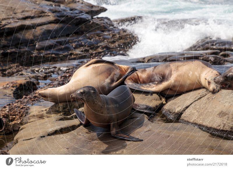 California sea lion Zalophus californianus Playing Rock Waves Coast Beach Ocean Animal Wild animal 4 Stone Water Sleep Blue Brown Sea lion seal La Jolla