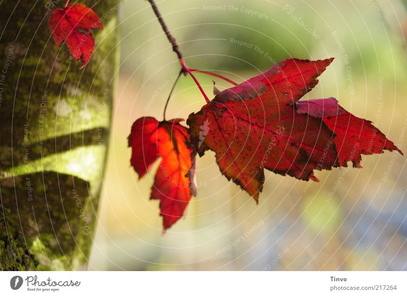 red october Nature Autumn Beautiful weather Tree Leaf Green Red Change Multicoloured Autumn leaves Maple tree serrated Purple Gaudy Tree trunk Colour photo