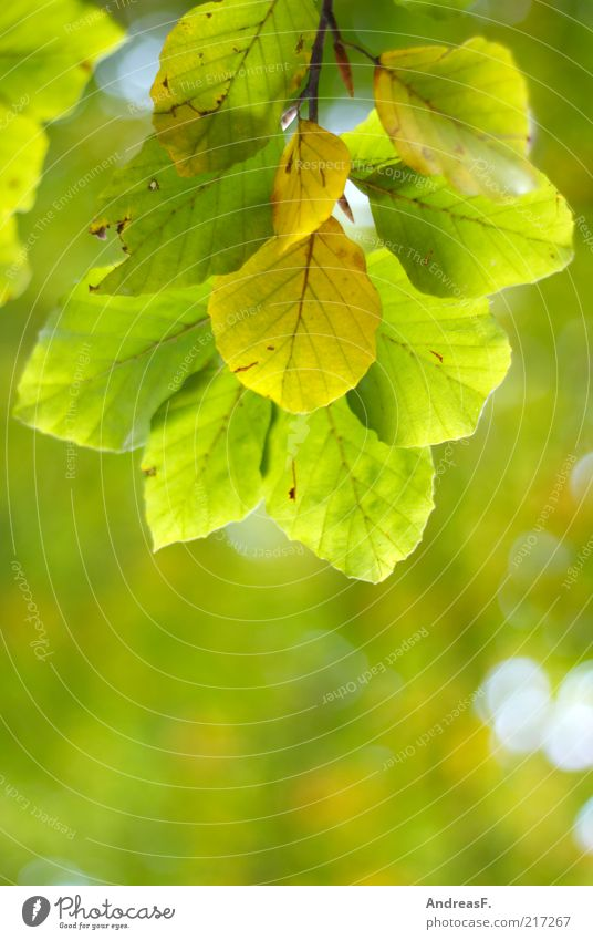 autumn green Environment Nature Plant Autumn Tree Leaf Green Autumn leaves Leaf canopy Beech leaf Beech tree Illuminate Copy Space Shallow depth of field Twig