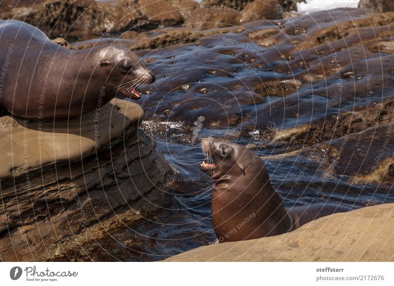 Arguing California sea lion Zalophus californianus Ocean Animal Coast Playing Rock Mammal Argument Boxing Sealife Sea lion La Jolla