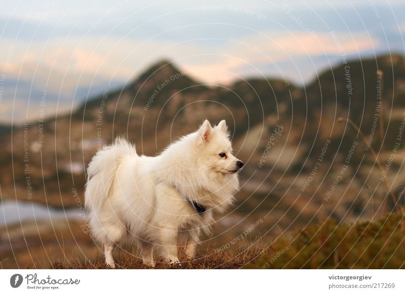 white Spitz dog in the mountains Dog Sky Nature White Landscape Animal Mountain Autumn Grass Freedom Lake Wild Bushes Adventure Peak