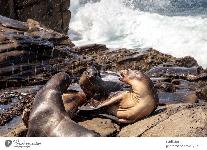 Mom and pup California sea lion Zalophus californianus Joy Playing Baby Mother Adults Environment Nature Rock Coast Beach Ocean Animal Wild animal 3 Baby animal
