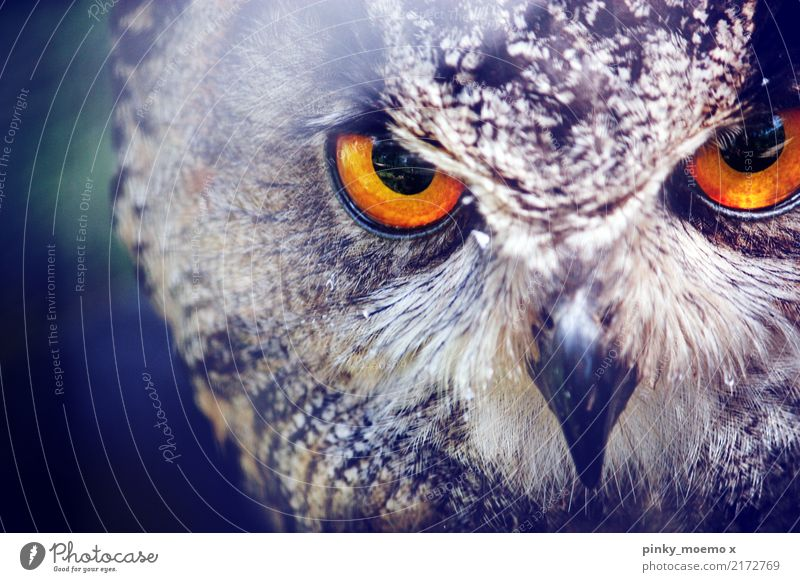 Focused. Eyes Nature Animal Wild animal Bird Animal face Zoo 1 Hunting Aggression Esthetic Owl birds Beak Amber coloured Focus on Metal coil Colour photo