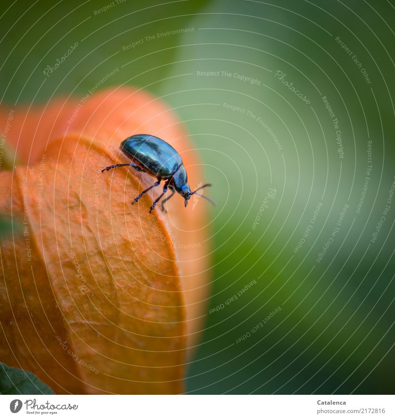 crawling around Nature Plant Animal Autumn Physalis Fruit Garden Beetle Sky blue leaf beetle 1 Crawl To dry up Growth Esthetic Glittering Beautiful Blue Green