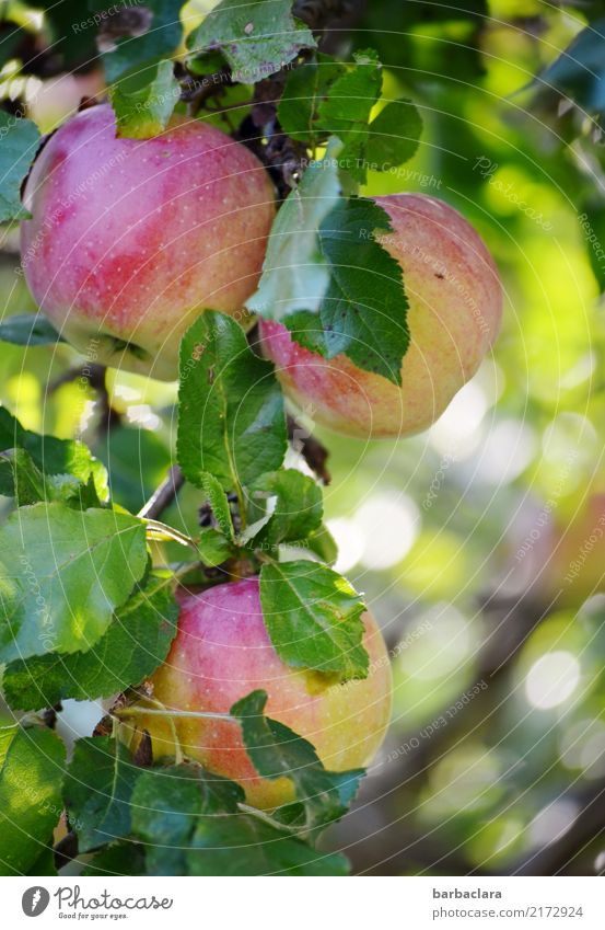 soon... Fruit Apple Autumn Climate Tree Leaf Apple tree Twigs and branches Garden Eating Hang Fresh Healthy Round Juicy Green Red Colour To enjoy Nature