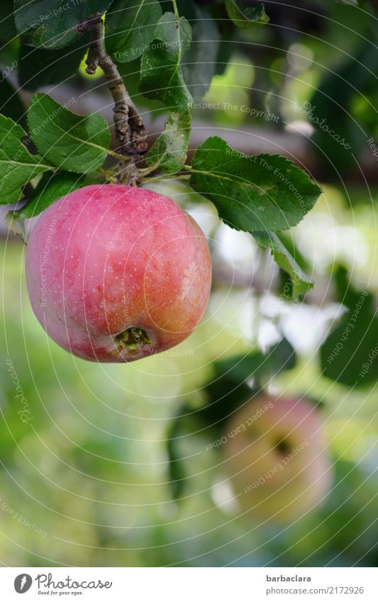 harvest time Fruit Apple Autumn Tree Apple tree Twigs and branches Garden Eating To enjoy Hang Round Juicy Green Red Joie de vivre (Vitality) Healthy Nature