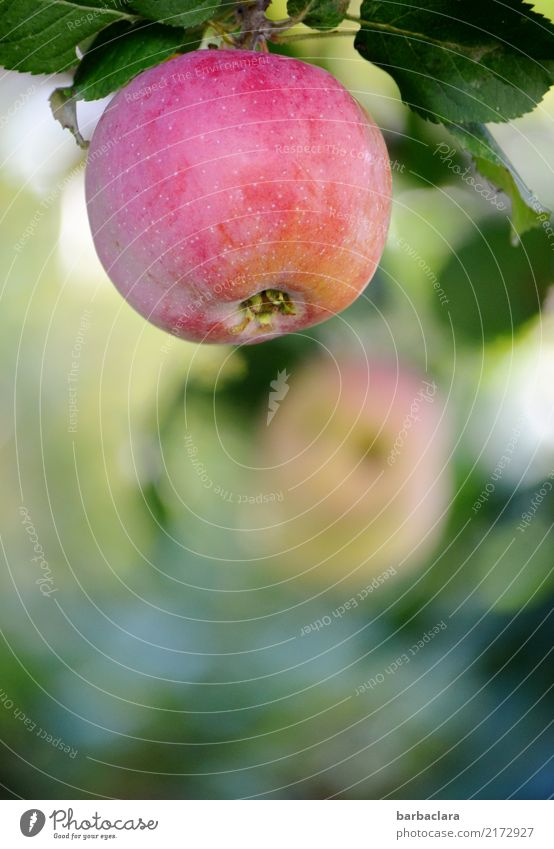 Seasons | Apple time in autumn Fruit Sunlight Autumn Climate Tree Leaf Agricultural crop Garden Fresh Healthy Red Nature Colour photo Exterior shot Close-up