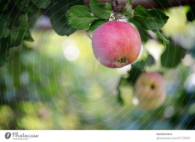 Fifteen-oh, apple on a tree. Fruit Apple Plant Autumn Tree Leaf Agricultural crop Apple tree Garden Hang Fresh Healthy Red Colour Climate Nature Environment