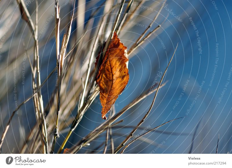 Sky Blue Plant Leaf Autumn Air Brown Change Transience Hang Twig Individual Autumn leaves Limp Autumnal