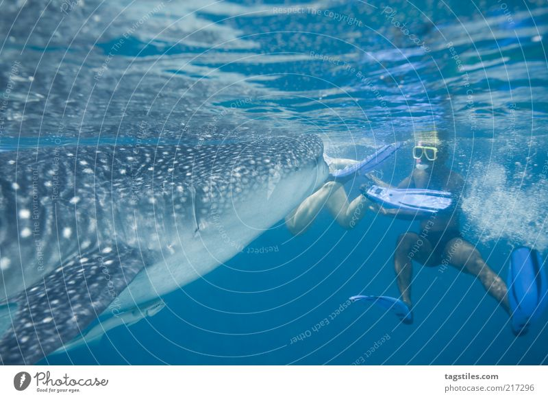 HAAAPS ... Whale shark Man To feed devoured turn Fish Maldives Vacation & Travel Tourism Snorkeling Colossus Gigantic Large Colour photo Copy Space bottom Brave