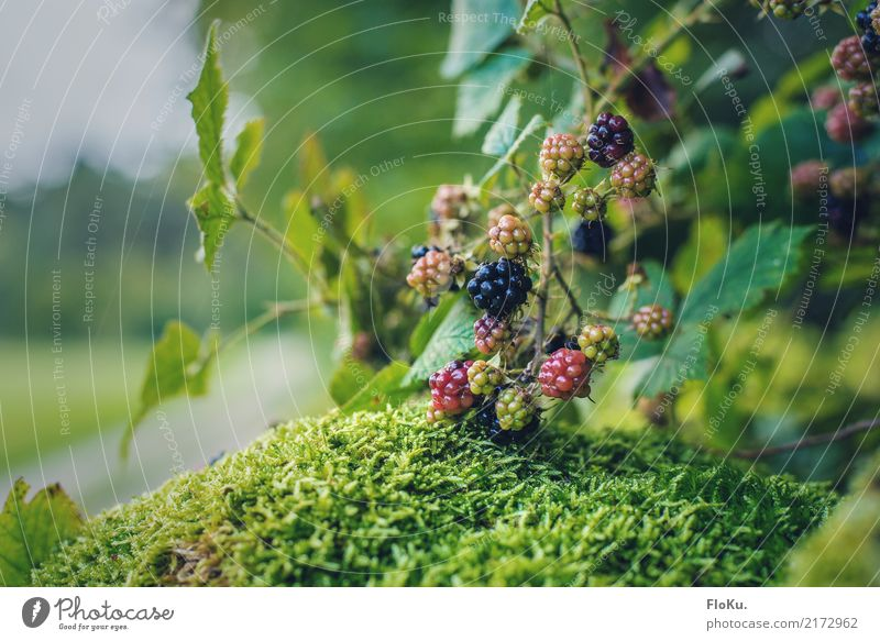 Berries everywhere Food Fruit Nutrition Organic produce Vegetarian diet Environment Nature Plant Autumn Bushes Leaf Wild plant Garden Meadow Field Delicious