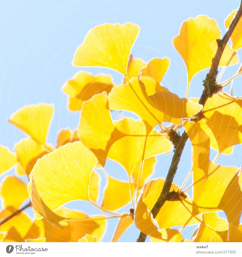 Blue Leaf Yellow Bright Change Illuminate Twig Autumn leaves To dry up Ginko Autumnal colours Warm light