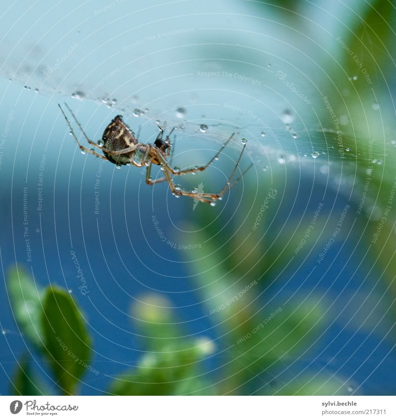 Spiderman Nature Plant Animal Water Drops of water Bad weather Rain Bushes To hold on Small Blue Green Endurance Unwavering Net Spider's web Spider legs Dew