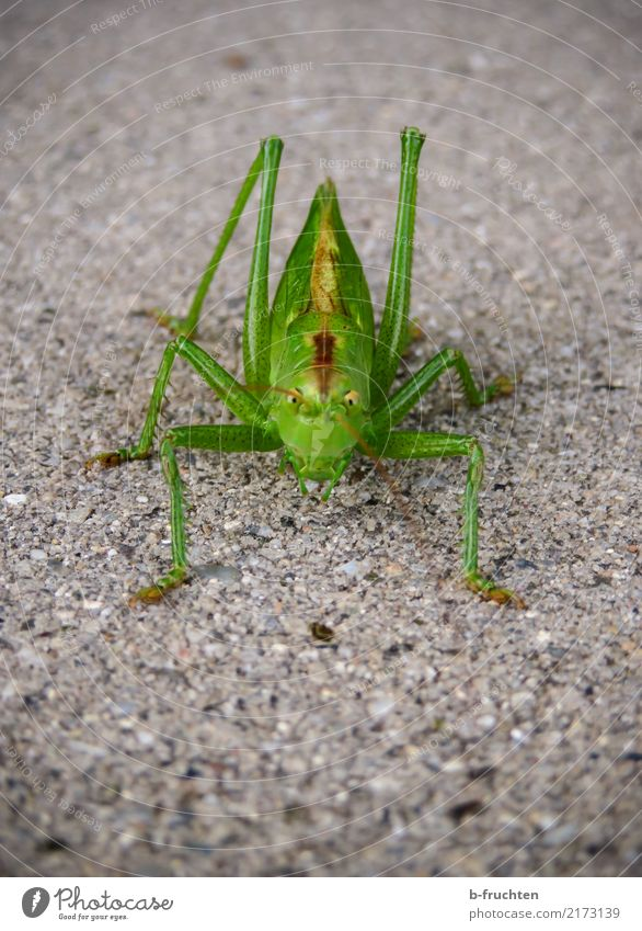 Hello there! Street Animal 1 Looking Aggression Esthetic Green Locust Insect Paving stone Ground Feeler Nature Environment Colour photo Detail