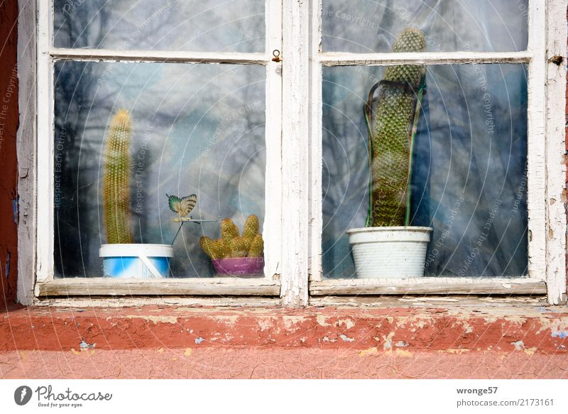 ambiguities | robustness Window Thorny Brown Gray Green White Houseplant Cactus Flowerpot Exterior shot Close-up Deserted Day Central perspective