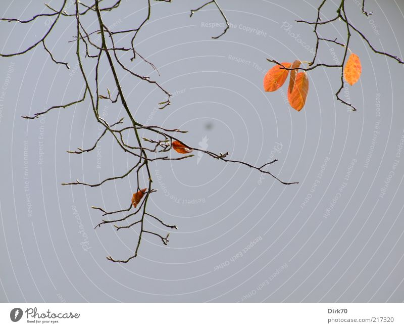 autumn leaves, already sparse Plant Autumn Leaf Branch Twig rock pear Autumn leaves Hang Faded To dry up Growth Brown Gray Red Death Goodbye Decline Transience