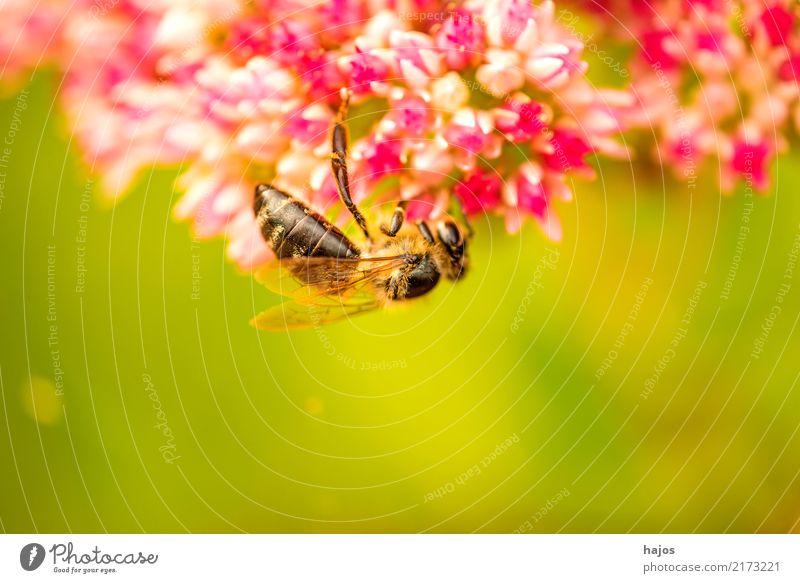 Bee on big stonecrop Beautiful Nature Plant Animal Blossom Illuminate Green Pink Romance Apis mellifera Insect Grey stonecrop Sedum telephium rays sunny