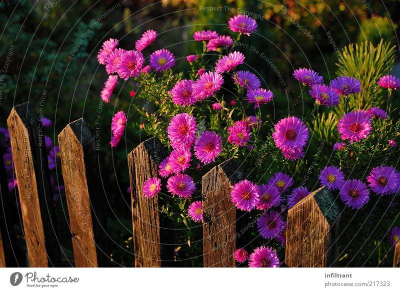 Flowers over a garden fence Nature Plant Summer Autumn Blossom Garden Esthetic Natural Violet Pink Beautiful Calm Life Purity Moody Environment Fence
