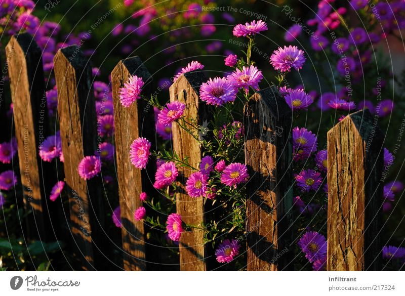 Flowers above garden fence 2 Environment Nature Plant Summer Autumn Blossom Garden Esthetic Fragrance Natural Violet Pink Calm Life Fence Garden fence