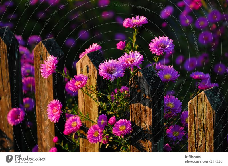 Flowers above garden fence 3 Environment Nature Plant Summer Autumn Beautiful weather Blossom Garden Esthetic Fragrance Natural Violet Pink Moody Calm Colour