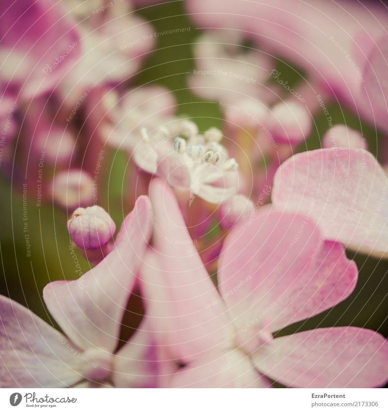 h Environment Nature Plant Flower Blossom Garden Natural Pink Esthetic Colour Hydrangea Hydrangea blossom Bud Blossom leave Blur Botany Colour photo
